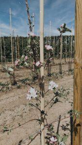 Nieuwe appelbomen