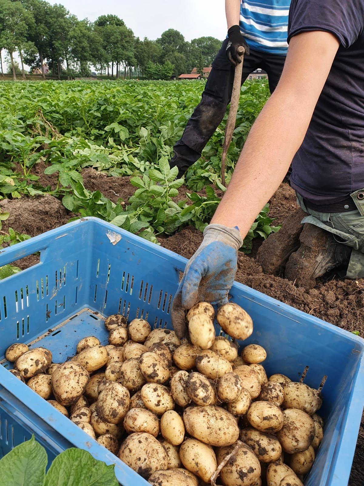 Aardappelen buytenhof